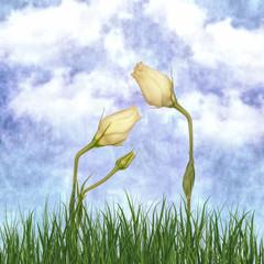 Lisianthus, two white buds with textured background