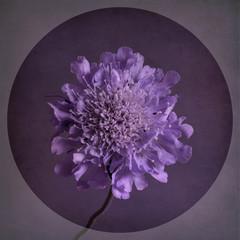 Scabiosa flower, purple with textured background, vintage