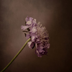 Scabiosa flower, pink with textured background