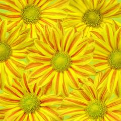 Chrysanthemum flowers, yellow