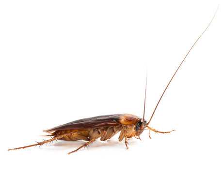 American cockroach (Periplaneta americana)  of large size with long mustache and wings. Isolated on a white background.