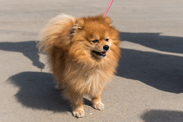 Dog Pomeranian spitz breed on a leash walking along the street on a bright summer day