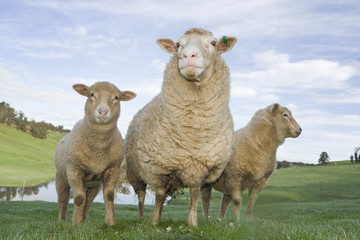 Three sheep in a picturesque country scene.