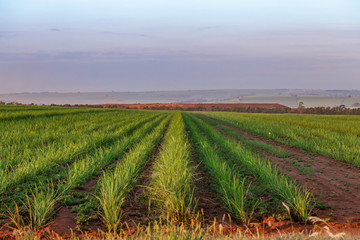 Sugar cane plantation at brazil's countryside