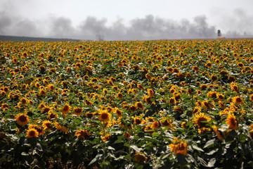 Smoke is seen behind a field of sunflowers on Israeli side of the border fence between Israel and Gaza near kibbutz Mefalsim