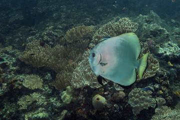 Beautiful  soft corals and batfish in the Ceram sea, Misool, West Papua, Indonesia