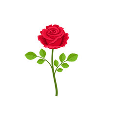 Realistic red rose isolated on white background