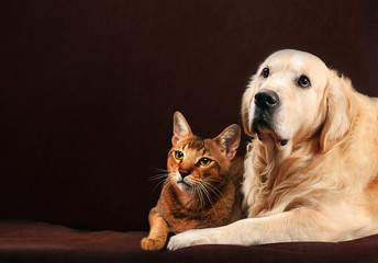 Cat and dog, abyssinian kitten , golden retriever looks at left