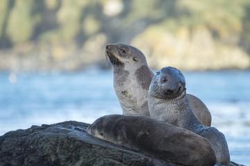 Fur Seal Pups, South Georgia Island, Antarctic