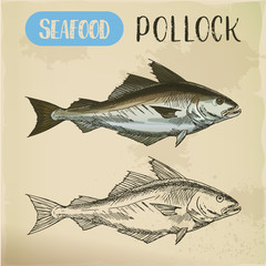 Pollock fish side view. Vector sketch