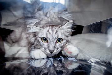 Chat gris jouant avec la boite en plastique transparente