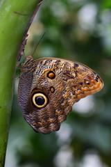 Tropical butterfly caligo owl