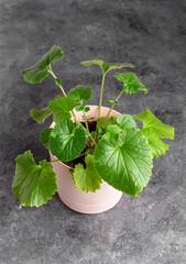Green shiso plant in pot closeup on gray. Perilla frutescens