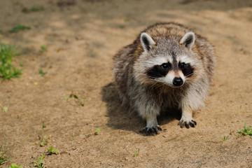 Lotor common raccoon