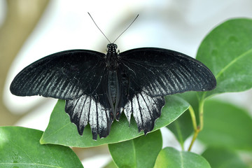 Black moth butterfly