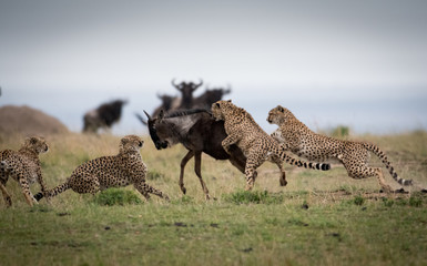 Cheetahs attacking wildebeest Fotoväggar