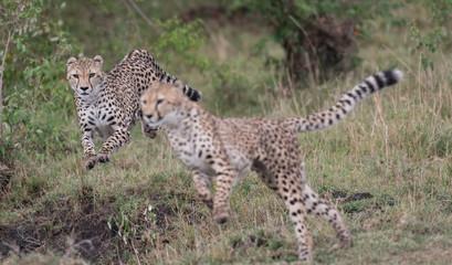 Cheetahs on the run