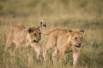 Lion cubs in Masa Mara
