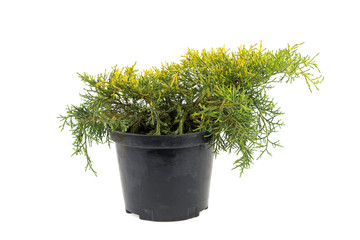 thuja in a plastic pot on a white background
