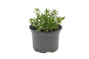 flower with small white flowers in a plastic pot on a white background
