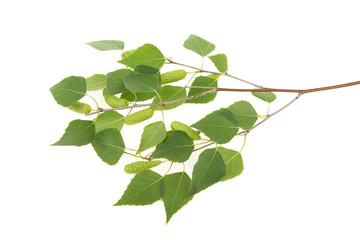 birch branch with leaves and kidneys on a white background