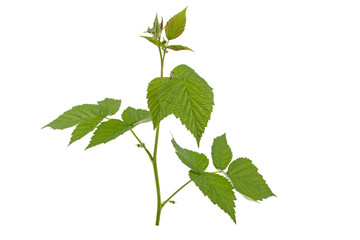 a sprig of raspberries with leaves on a white background
