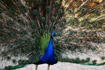 Male blue indian peafowl