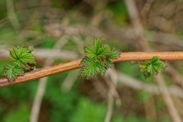 small green leaves on a thin raspberry branch