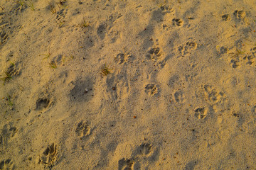 Background of desert sand with animal tracks.