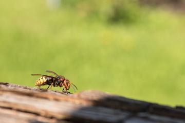 Big Yellow Hornet