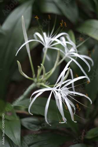Exotic tropical plant with white flowers with long thin petals and exotic tropical plant with white flowers with long thin petals and stamens mightylinksfo