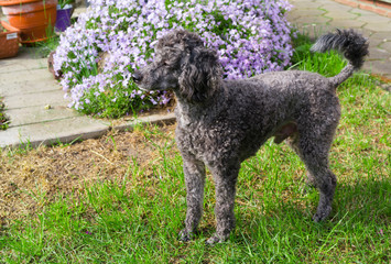 Portrait of black Poodle on garden.