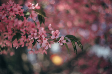 Spring blooming pink cherry