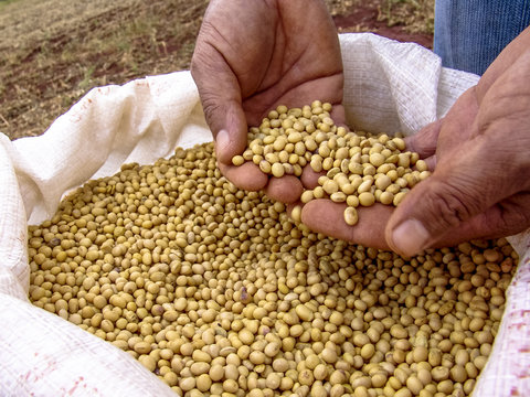 Hand with soybean in Brazil