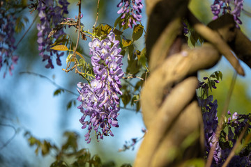 Bush of beautiful purple lilac flowers on a tree in a summer natural garden