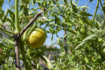 Tomato Ripening on the Plant