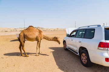 Camel standing in a jeep car in a desert near Abu Dhabi city in UAE country, in August 2015.