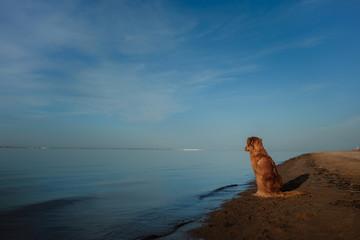 The Nova Scotia Retriever dog, Toller. Pet travels, summer season, vacation