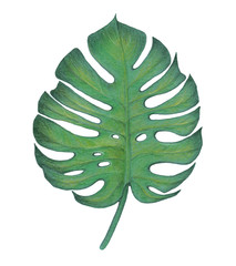 Hand drawn illustration painted by pencils. Exotic leaf of monstera isolated on white.