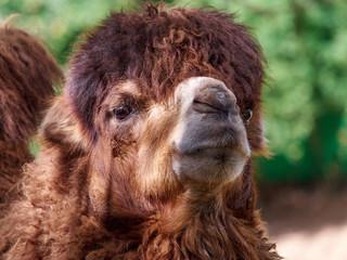 A beautiful home camel with silky abundant hair on his head, a portrait of an animal.