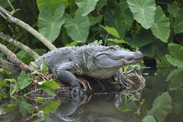 American Alligator in Swamp