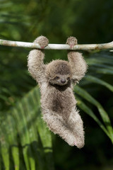 Baby Three-Toed Sloth hanging from branch in Rainforest of Costa Rica