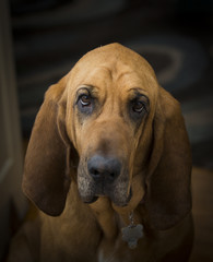 Sad Bloodhound