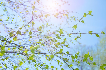 Beautiful birch tree branch with green leaves in the sky.