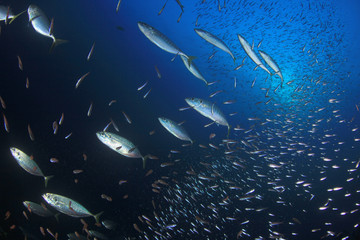 Sardines and mackerel fish in sea