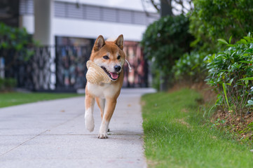 Lovely Shiba Inu, walking in the park