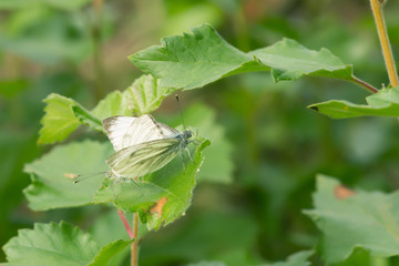 Mating pair of green-veined white, pieris napi