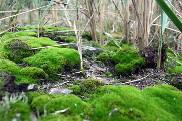 Macro photography of the ground covered by green moss and with dry herb