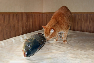a ginger cat is sniffing a big fish on the table