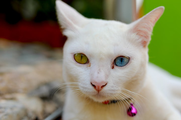 Cat with two colors eye